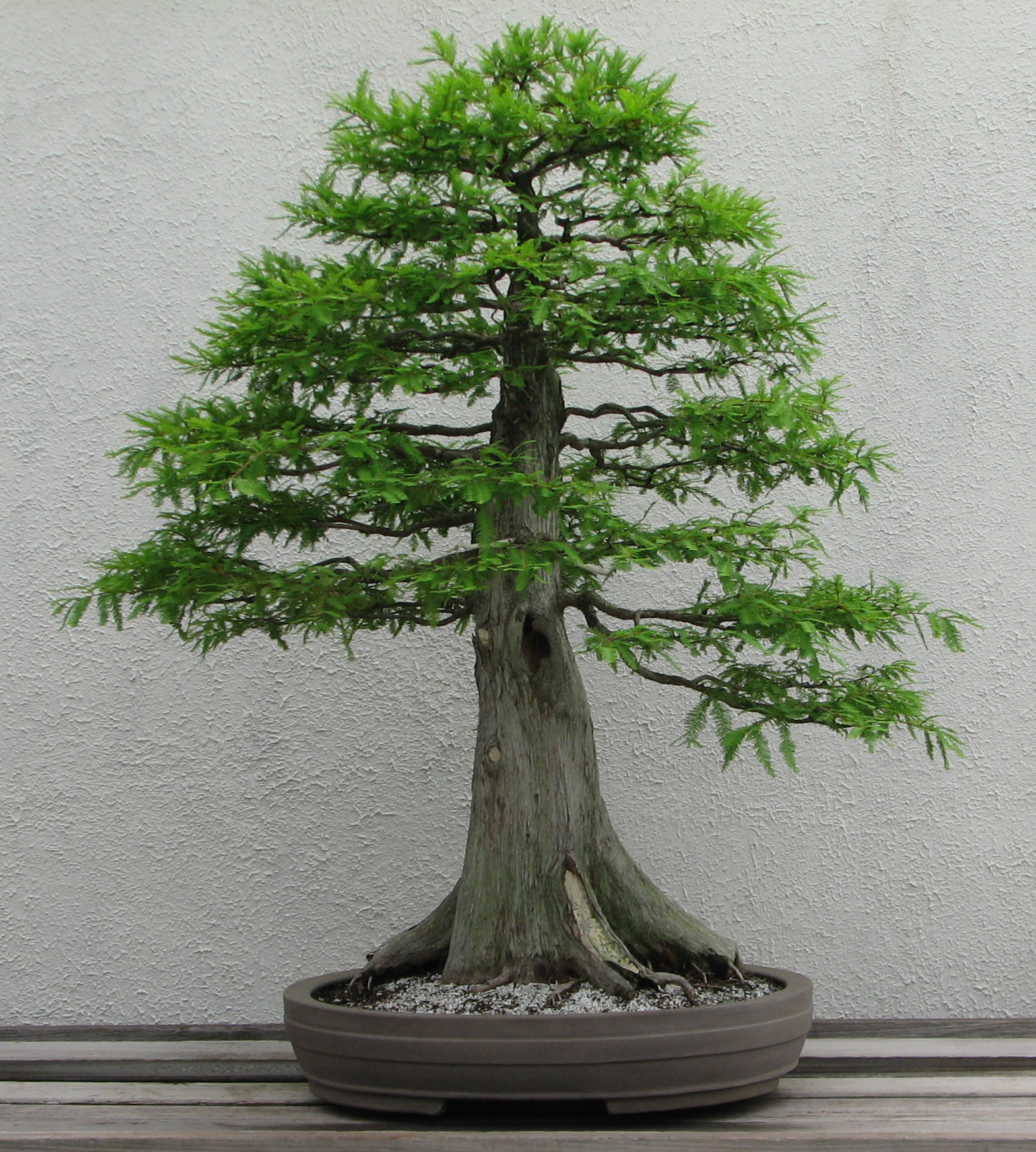 How to take care of a bonsai tree - Formal Upright Style Bonsai Bonsai Styles
