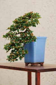 Semi-Cascade Bonsai Style - Bonsai Styles