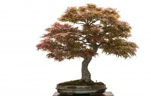 Japanese Maple Bonsai_2