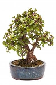 Jade Bonsai - Indoor Bonsai Tree