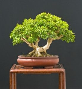 Japanese Boxwood Bonsai