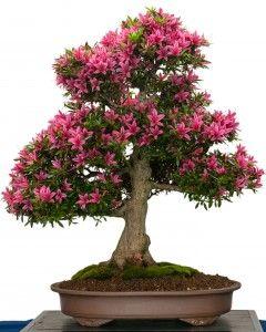 Azalea Bonsai - Indoor Bonsa Tree