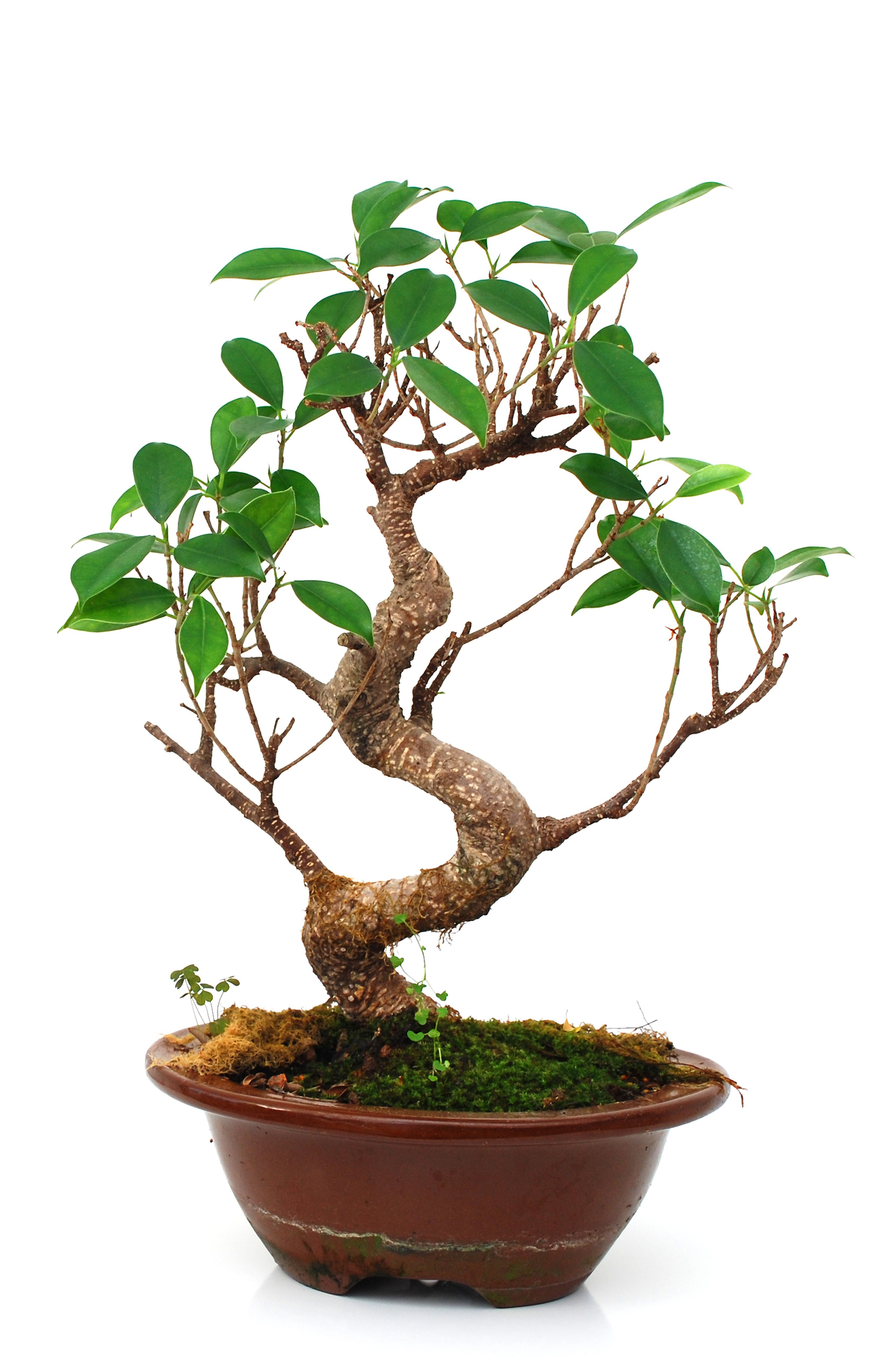 Buy How To Take Care Of A Bonsai Tree Part 2