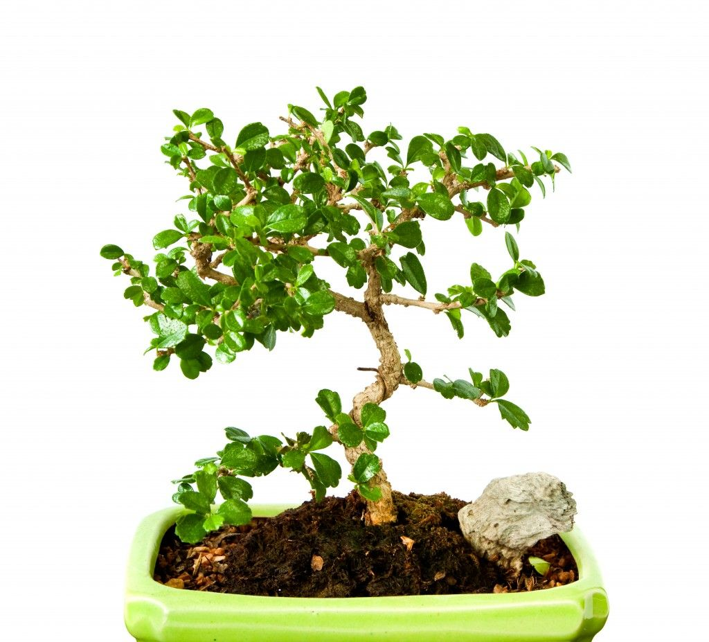 Fukien Tea Bonsai - Indoon Bonsai Tree