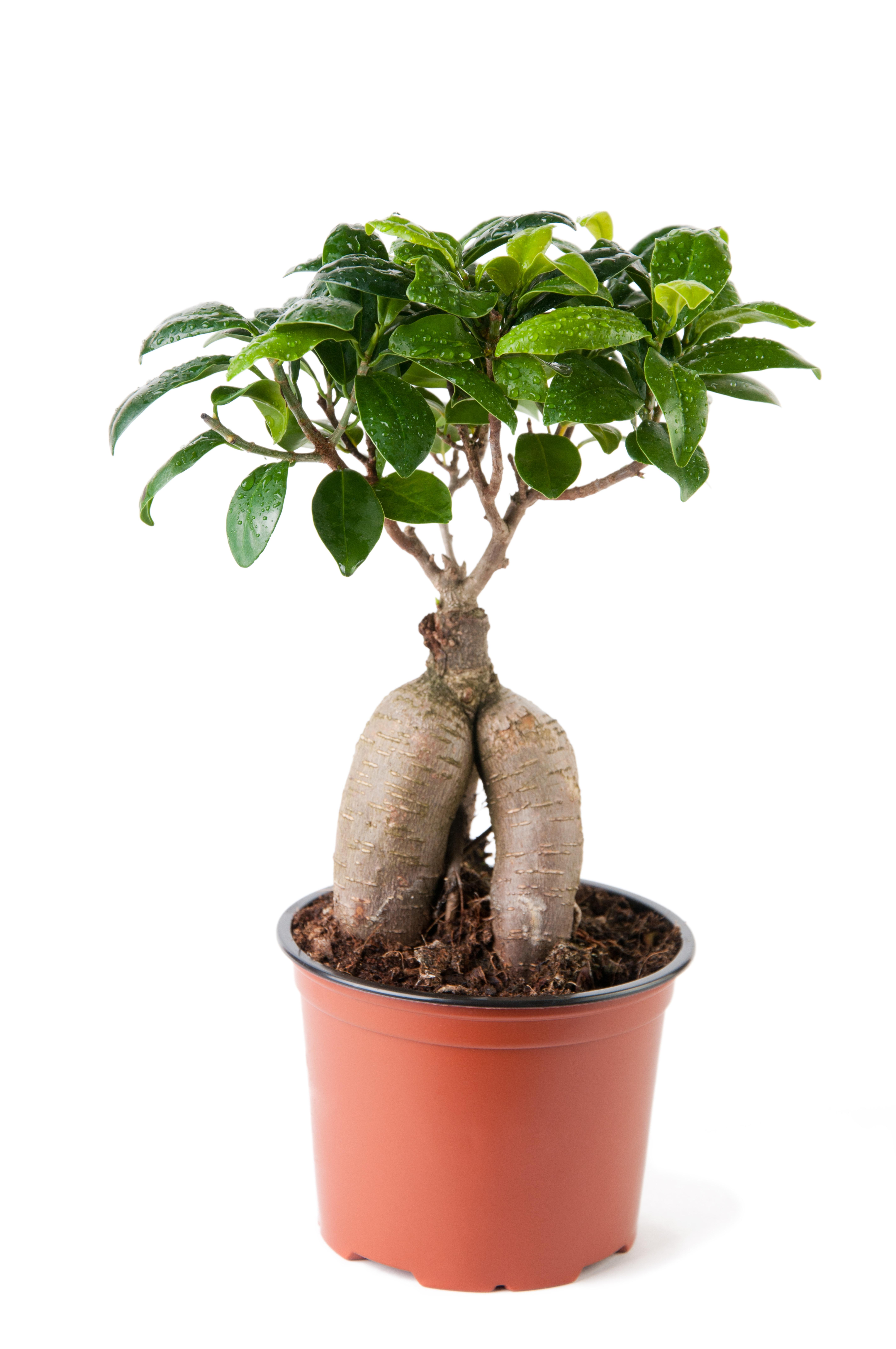 Ginseng Ficus Bonsai | How to Take Care of a Bonsai Tree