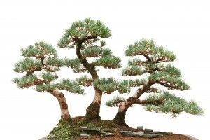 Japanese White Pice Bonsai